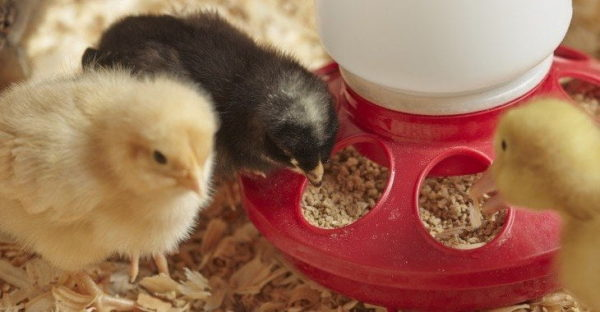 10 Best Chicken Feeds – Reviews & Buying Guide