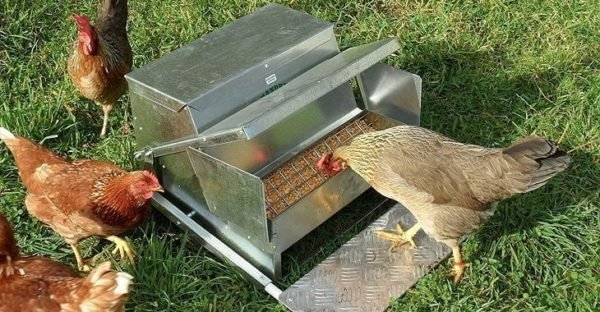 Best Chicken Feeder